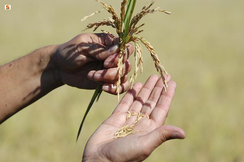 Coltivazione del riso da http://www.sardegnadigitallibrary.it
