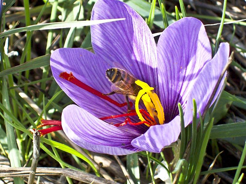 Fiore e pistilli di Zafferano - Autore: Capobianco Giulio
